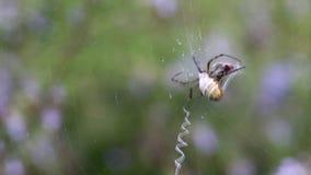 蜘蛛采取严厉措施与飞行 第1部分:蜘蛛攻击飞行的和开始包扎她 股票视频