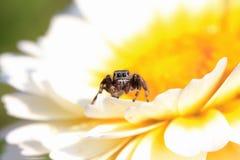 黑蜘蛛马坐一朵明亮的花 免版税图库摄影