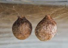蜘蛛鸡蛋 图库摄影
