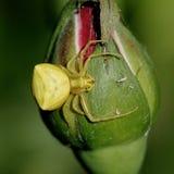 蜘蛛黄色 图库摄影
