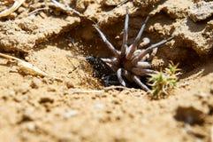 蜘蛛黄蜂和被麻痹的蜘蛛 免版税库存照片