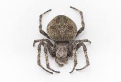 蜘蛛,一张顶视图 免版税库存照片