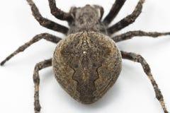 蜘蛛,一张顶视图 库存图片