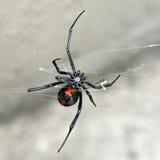 蜘蛛,澳大利亚赤背蜘蛛,女性蜘蛛休息在网 图库摄影