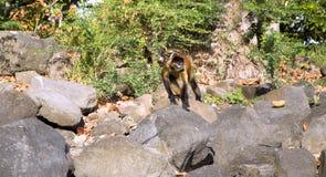 蜘蛛猴在石头跳 免版税图库摄影