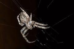 蜘蛛 宏指令 库存照片