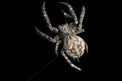 蜘蛛 宏指令 库存图片
