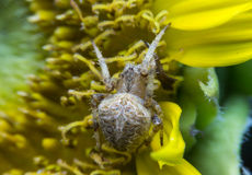 蜘蛛 2009朵超级花宏观的夏天 免版税库存照片