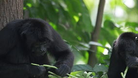 蜘蛛猴特写镜头哺养在慢动作的 股票视频