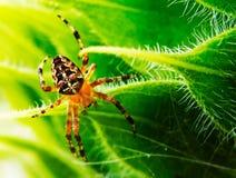 蜘蛛 免版税库存照片
