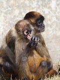 蜘蛛猴 免版税图库摄影