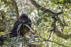 蜘蛛猴 库存图片