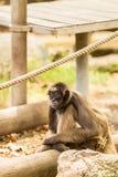 蜘蛛猴 免版税库存图片