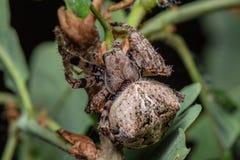 蜘蛛- Araneus Angulatus 免版税图库摄影