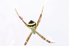 蜘蛛(Argiope sp ) 对此是网白色背景 免版税库存图片
