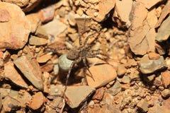 蜘蛛(Hogna radiata) 免版税库存照片