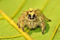蜘蛛2 Hyllus diardi 库存图片