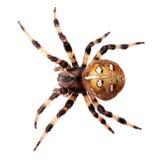 蜘蛛Araneus diadematus 库存照片