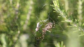 蜘蛛Argiope洛巴塔捉住了蝴蝶并且吃它,第2部分 蜘蛛等待蝴蝶死亡并且摇摆它的pedipalps 股票视频