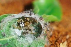 蜘蛛Neoscona adianta的巢-天体网蜘蛛Araneidae家庭的araneomorph蜘蛛  免版税库存照片