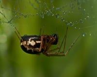 蜘蛛Neriene peltata 免版税库存图片