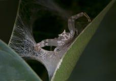 蜘蛛Thomisus onustus 库存图片