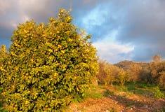 蜜桔庭院用在树的成熟蜜桔 库存照片