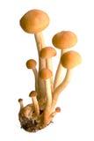蜜环菌属真菌蜂蜜 免版税库存照片