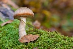 蜜环菌属蘑菇 免版税库存图片