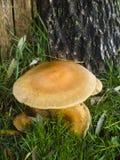 蜜环菌属蜂蜜mellea蘑菇 库存图片