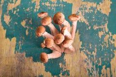 蜜环菌属(Kuehneromyces mutabilis),小组在的蘑菇 库存图片