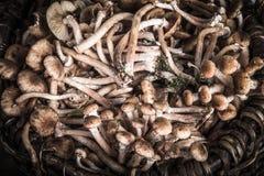 蜜环菌属(Kuehneromyces mutabilis),小组森林采蘑菇 免版税库存图片
