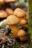 蜜环菌 库存照片