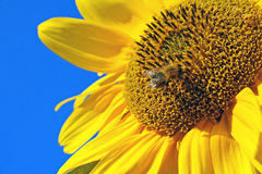 蜜蜂向日葵黄色 免版税库存图片