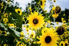 蜜蜂和向日葵 免版税库存图片