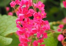 蜜蜂和桃红色花照片  库存图片