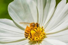 蜜蜂和白花 库存照片