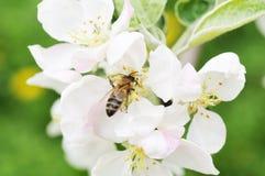 蜜蜂和白花 库存图片