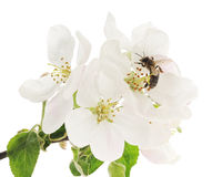 蜜蜂和白花 免版税图库摄影