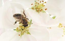 蜜蜂和白花 图库摄影
