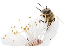 蜜蜂和白花 免版税库存照片