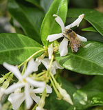 蜜蜂和茉莉花 库存图片