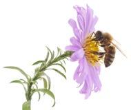 蜜蜂和蓝色花 库存照片