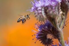 蜜蜂和紫色艾菊花 库存照片