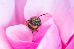 蜜蜂在玫瑰花瓣 库存图片