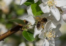 蜜蜂在白花哺养在春天早晨 库存图片