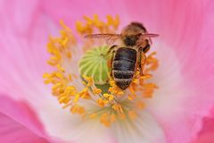 蜜蜂在黄色花药03搜寻 库存图片