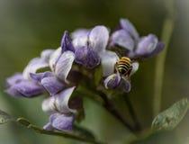 蜜蜂坐瓣的边缘 库存图片