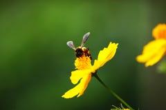 蜜蜂收集花花蜜 免版税库存照片