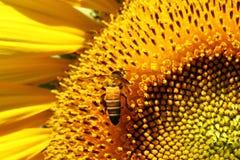 蜜蜂收集花花蜜 图库摄影